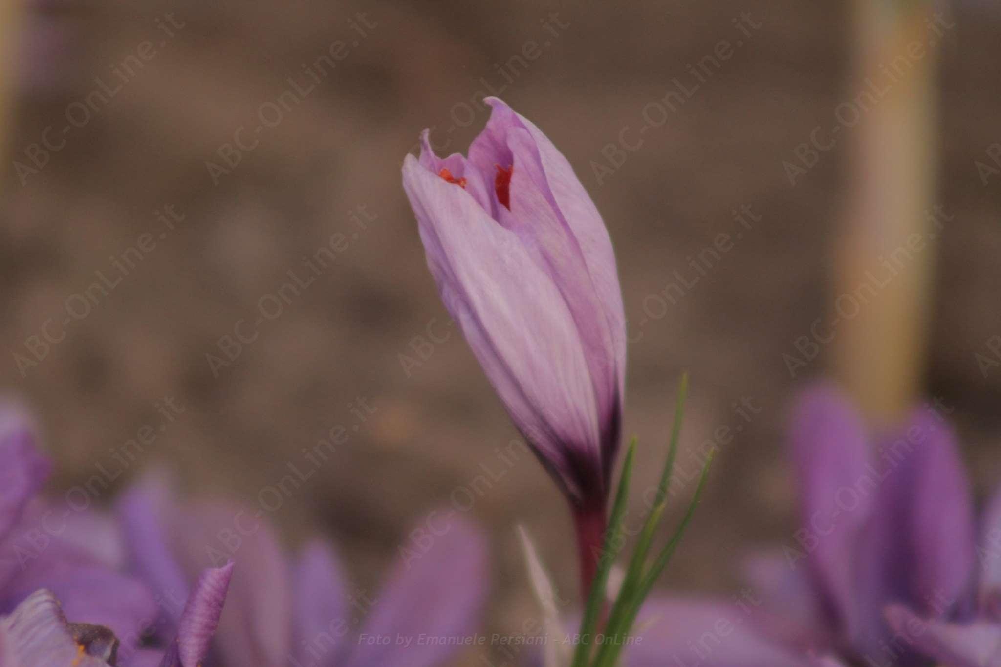 fiore di zafferano quasi chiuso
