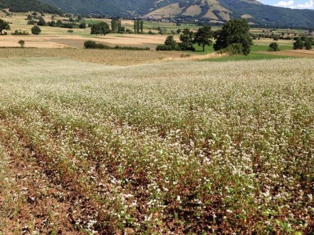 Agricoltura a Cascia, lenticchie e grano saraceno
