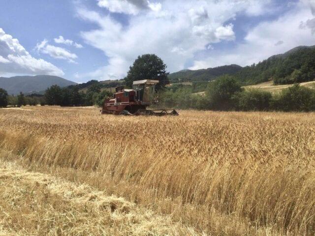Produzione di Farro DOP di Monteleone di Spoleto