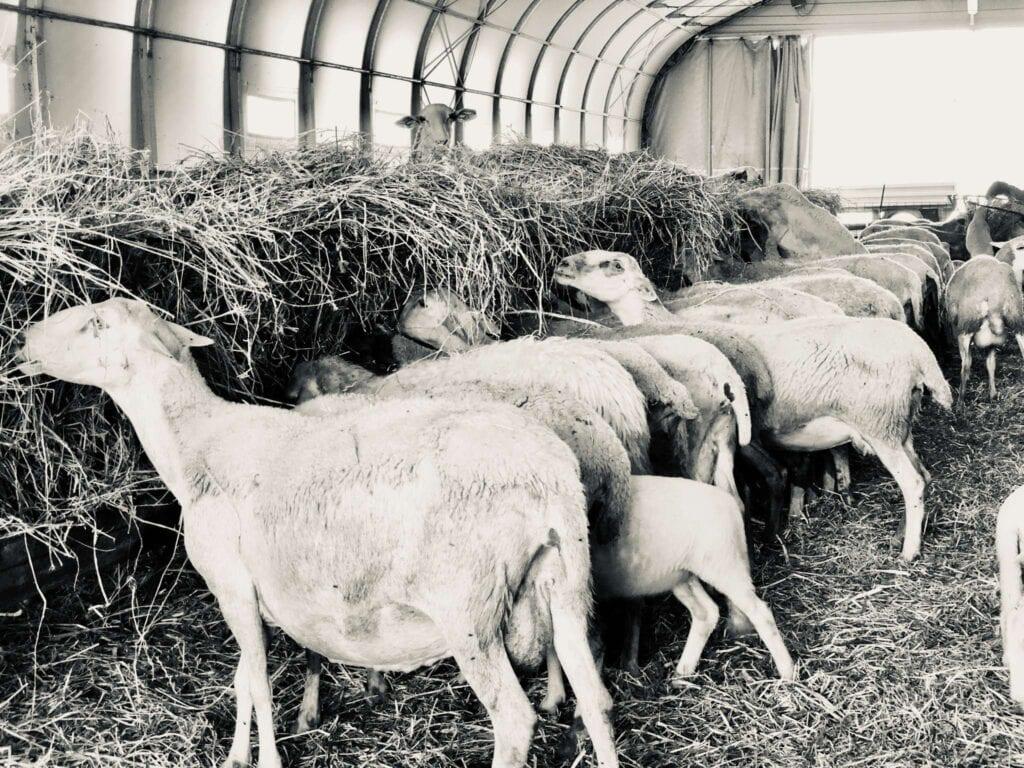 pecore per la ricotta salata di norcia